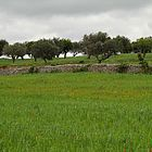 olive trees - arable